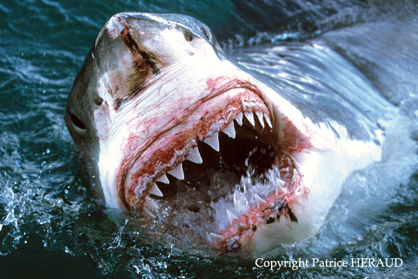 Grand Requin Blanc - Carcharodon Carcharias - Great White Shark